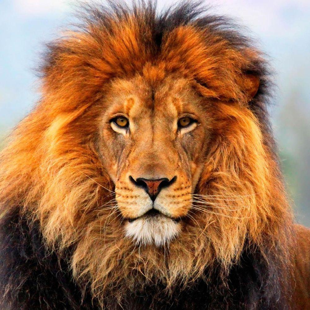 Lion48